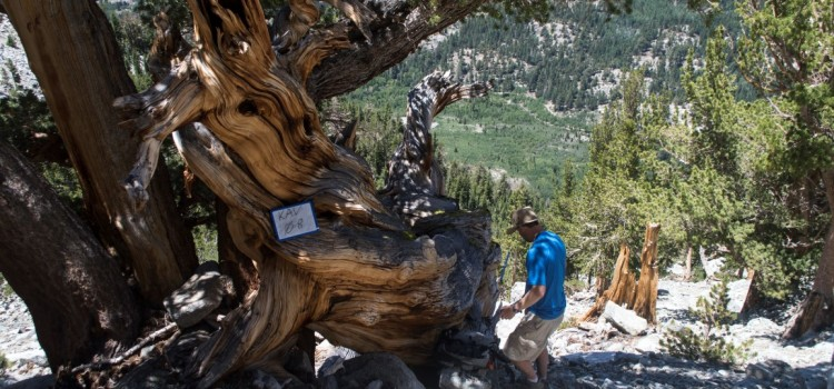 Looking for old trees? The Great Basin has plenty.