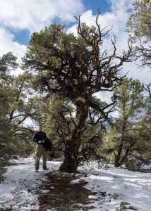 This pinyon pine is one of the oldest recorded for the species - 900 years, crossdated. I sure didn't expect to find it here!