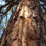 This fresh lightning scar on a ponderosa pine is evidence of the destructive power of high voltage. Because this happened in the middle of a multi-year drought, the trauma suffered by the tree proved to be too much, and the tree died during the following dry season.